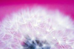 Cabeça semeada do dente-de-leão Imagem de Stock Royalty Free