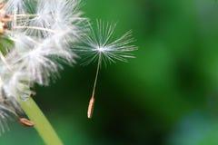 Cabeça semeada do dente-de-leão fotos de stock
