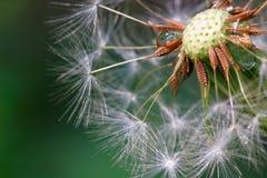 Cabeça semeada do dente-de-leão Fotografia de Stock Royalty Free