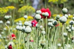 Cabeça verde da papoila no jardim fotografia de stock royalty free