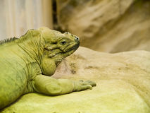 Cabeça verde do réptil Fotos de Stock Royalty Free