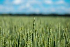 Cabeça verde do trigo no campo agrícola cultivado, veado adiantado Imagens de Stock