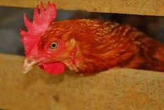 Cabeça vermelha da galinha Imagens de Stock Royalty Free
