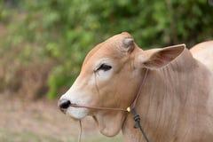 Cabeça vermelha da vaca Imagens de Stock Royalty Free