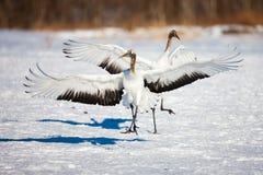 A cabeça vermelha japonesa Tancho cranes o voo e a dança em Kushiro, Hokkaido, Japão durante o inverno imagem de stock royalty free