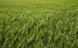 Cabeças bonitas do trigo no sol imagens de stock