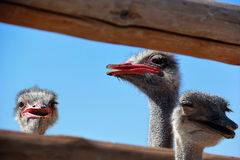Cabeças da avestruz em uma exploração agrícola Fotografia de Stock