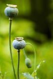 Cabeças da papoila de ópio Imagens de Stock