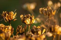 Cabeças da semente da salsa de vaca no outono Imagem de Stock Royalty Free