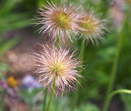 Cabeças da semente do açafrão da pradaria Fotos de Stock