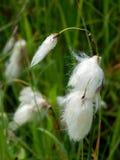 Cabeças da semente da grama de algodão comum Fotos de Stock Royalty Free