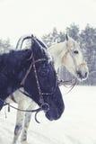 Cabeças de cavalos preto e branco no fundo da floresta do inverno Imagem de Stock