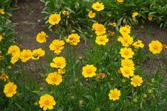 Cabeças de flor amarelas da planta lança-com folhas do coreopsis Fotos de Stock Royalty Free