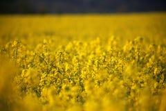 Cabeças de flor do canola do campo da colza em Alemanha Imagem de Stock