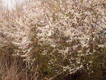 Cabeças de flores brancas em uma árvore na mola Fotografia de Stock
