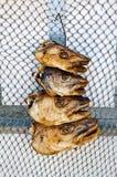 Cabeças de secagem dos bacalhaus imagem de stock royalty free