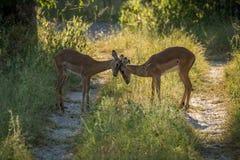 Cabeças de terminação da impala fêmea na luz solar dappled Imagem de Stock