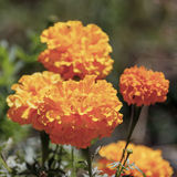 Cabeças do close-up da flor do cravo-de-defunto Fotos de Stock Royalty Free