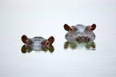 Cabeças do hipopótamo Fotografia de Stock Royalty Free