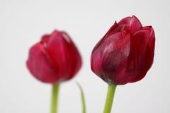Cabeças do Tulip fotografia de stock royalty free