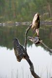Cabeças dos peixes de Pike em varas Fotos de Stock Royalty Free