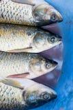 Cabeças dos peixes no fundo azul Imagem de Stock Royalty Free