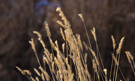 Cabeças douradas da semente da grama Foto de Stock