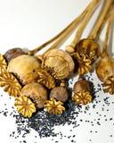 Cabeças e sementes da papoila Fotografia de Stock Royalty Free