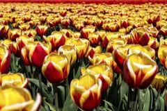 Cabeças em tulipas Imagens de Stock Royalty Free