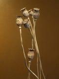 Cabeças secadas da papoila Fotos de Stock