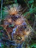 Cabeças secas da semente Fotos de Stock Royalty Free