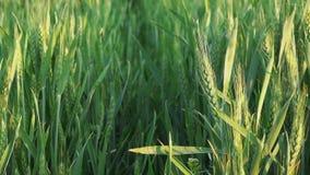 Cabeças verdes do trigo no campo agrícola cultivado video estoque