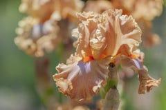 Cabe?a de flor do fim farpado alto de Iris Dodge City acima foto de stock