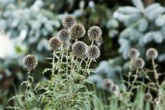 Cabe?a redonda da semente das bolas de Flora Flowers Backyard Globe Thistle fotos de stock royalty free