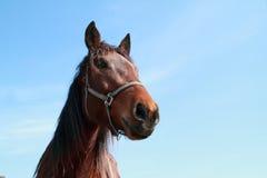 Cabeça de Brown de um cavalo Fotos de Stock Royalty Free