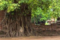 Cabeça de Buddha em raizes da árvore Fotografia de Stock