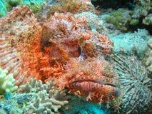 Cabeça de peixes de escorpião Imagens de Stock Royalty Free