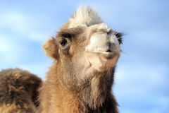 Cabeça de um camelo em um fundo do céu azul Imagem de Stock Royalty Free