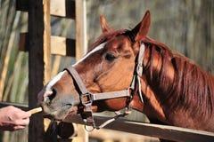 Cabeça de um cavalo marrom Fotos de Stock