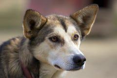 A cabeça do cão de puxar trenós do Alasca com orelhas picou acima a vista lateralmente Imagem de Stock