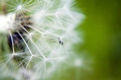 Cabeça semeada do dente-de-leão Imagens de Stock Royalty Free