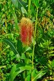 Cabelo brilhante cor-de-rosa vermelho do milho Fotos de Stock Royalty Free