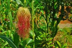 Cabelo cor-de-rosa vermelho do milho Fotos de Stock