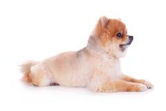 Cabelo curto do marrom do cão de Pomeranian Fotografia de Stock Royalty Free