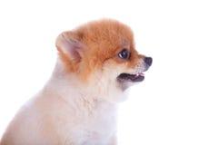 Cabelo curto do marrom do cão de Pomeranian Imagem de Stock Royalty Free