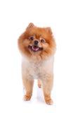 Cabelo curto do marrom do cão de Pomeranian Imagem de Stock
