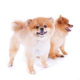 Cabelo curto do marrom do cão de Pomeranian Imagens de Stock