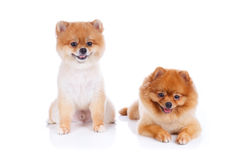 Cabelo curto do marrom do cão de Pomeranian Fotografia de Stock