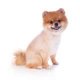 Cabelo curto do marrom do cão de Pomeranian Imagens de Stock Royalty Free
