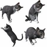 Cabelo curto Gato-Britânico Fotos de Stock Royalty Free